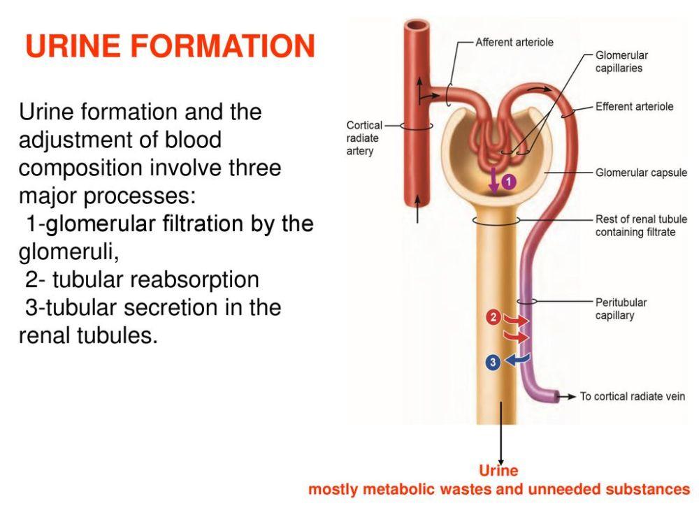 medium resolution of 14 urine formation