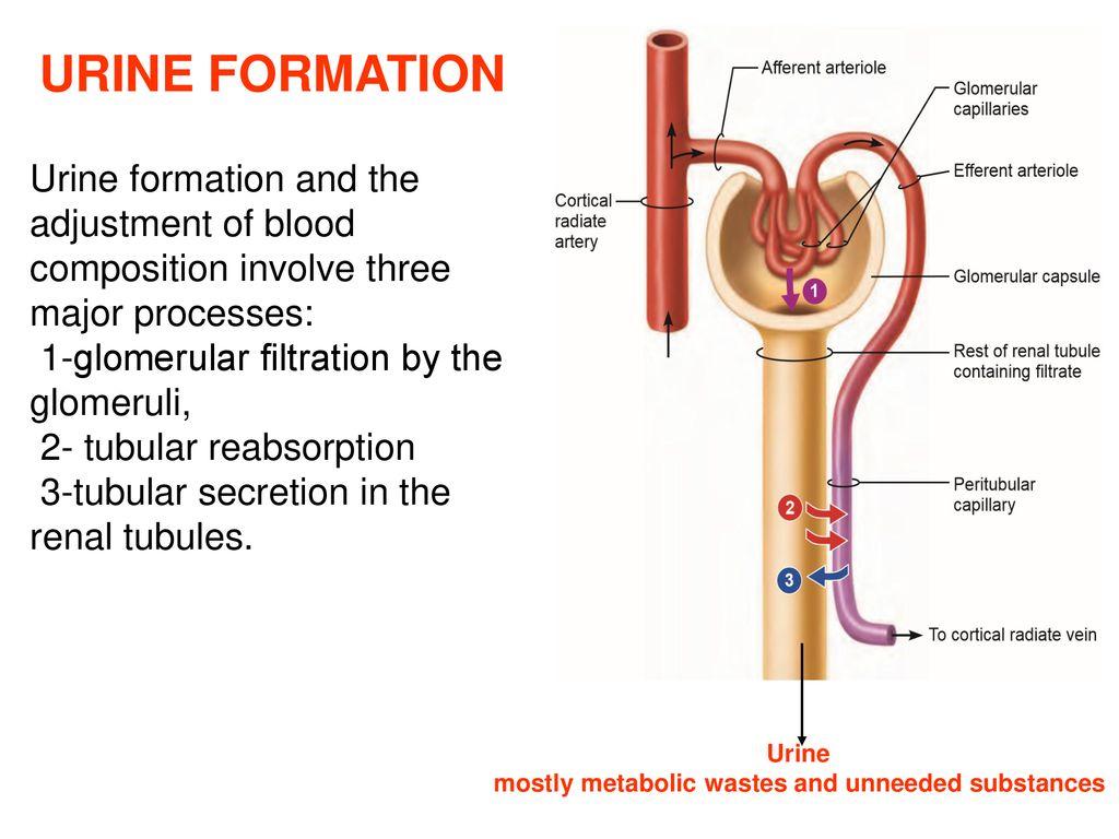 hight resolution of 14 urine formation