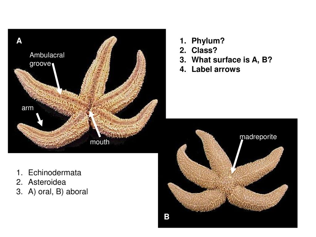 hight resolution of a phylum class what surface is a b label arrows echinodermata