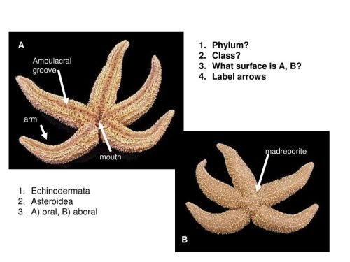 small resolution of a phylum class what surface is a b label arrows echinodermata