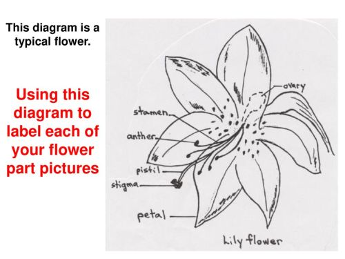small resolution of using this diagram to label each of your flower part pictures