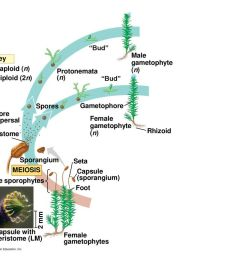1 m bud male gametophyte n key haploid n protonemata  [ 1024 x 768 Pixel ]