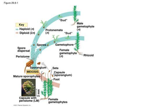 small resolution of 1 m bud male gametophyte n key haploid n protonemata