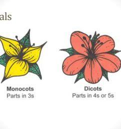 petals monocot dicot petals in multiples of 3 [ 1024 x 768 Pixel ]