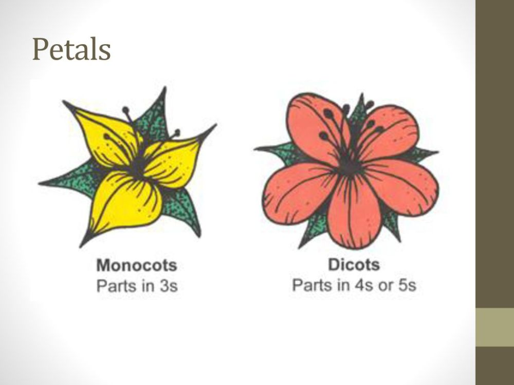 medium resolution of petals monocot dicot petals in multiples of 3