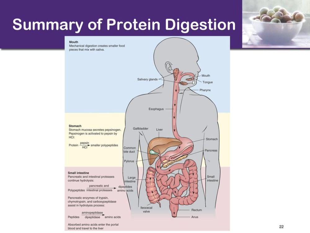 medium resolution of 22 summary of protein digestion