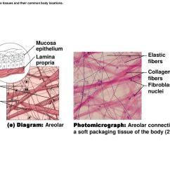 figure 3 19e connective tissues and their common body locations  [ 1024 x 768 Pixel ]