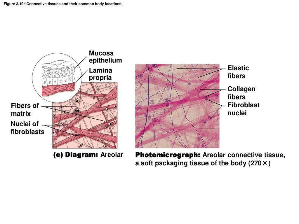 hight resolution of figure 3 19e connective tissues and their common body locations