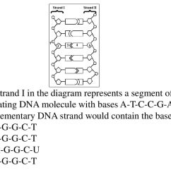 if strand i in the diagram represents a segment of a replicating dna molecule [ 1024 x 768 Pixel ]