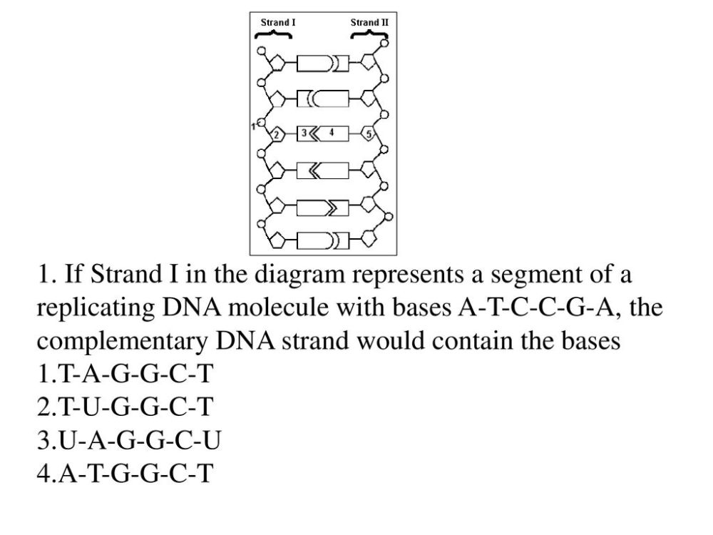 medium resolution of if strand i in the diagram represents a segment of a replicating dna molecule