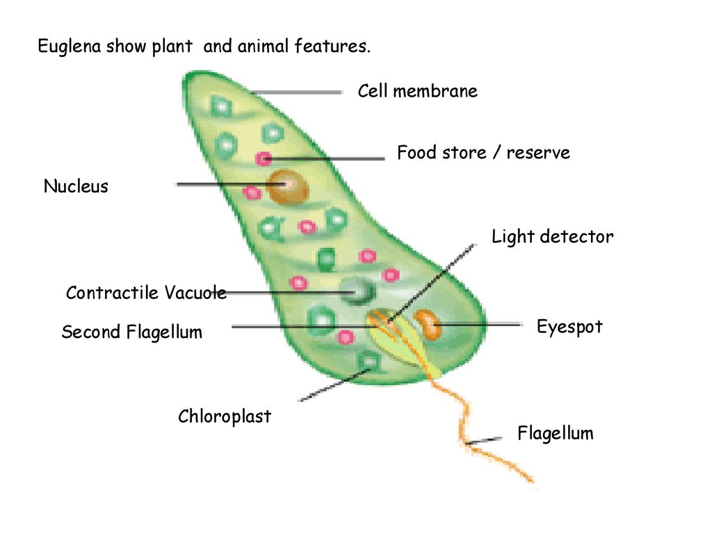 hight resolution of 7 euglena