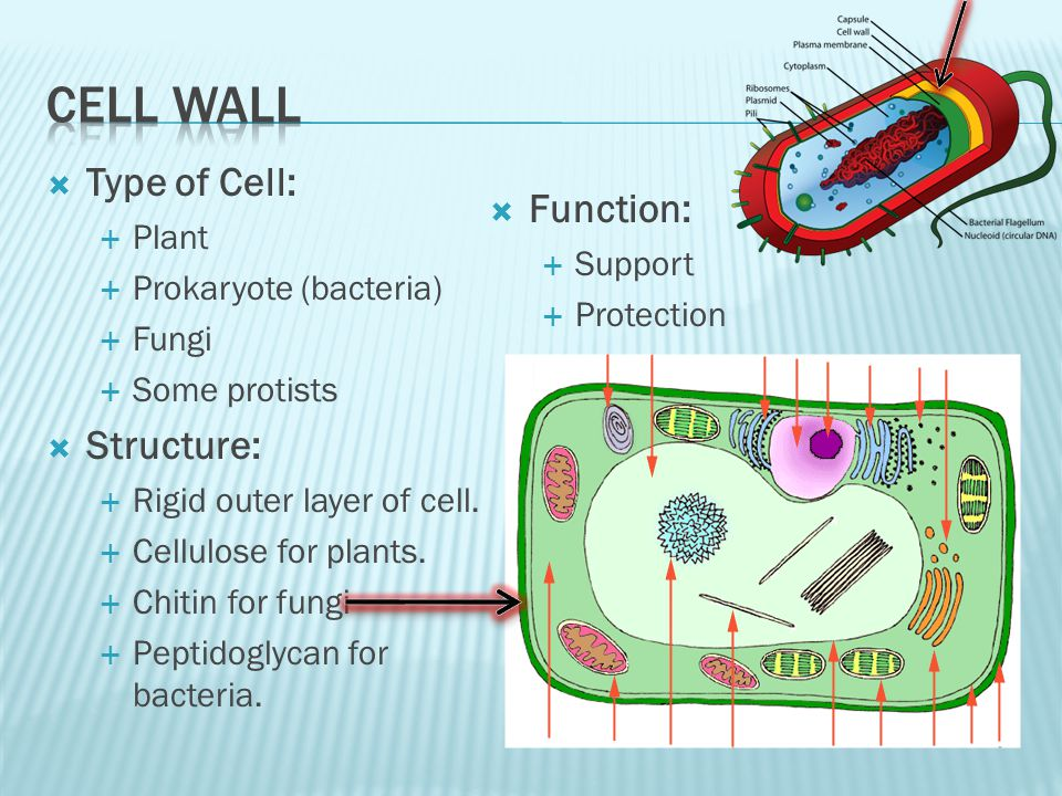 elodea leaf cell diagram vintage ac label of cells schematic wiring structure 400x cheek bacterial