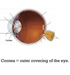 4 cornea outer covering of the eye  [ 1024 x 768 Pixel ]