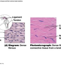 figure 3 19d connective tissues and their common body locations  [ 1024 x 768 Pixel ]
