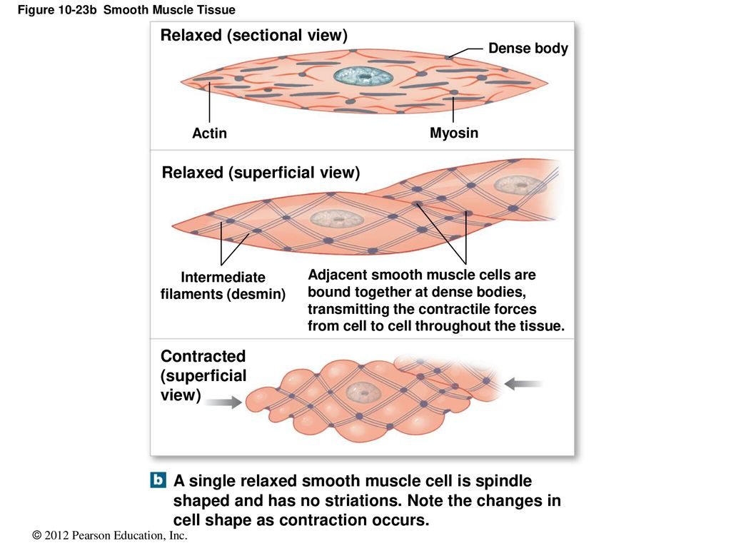 hight resolution of figure 10 23b smooth muscle tissue