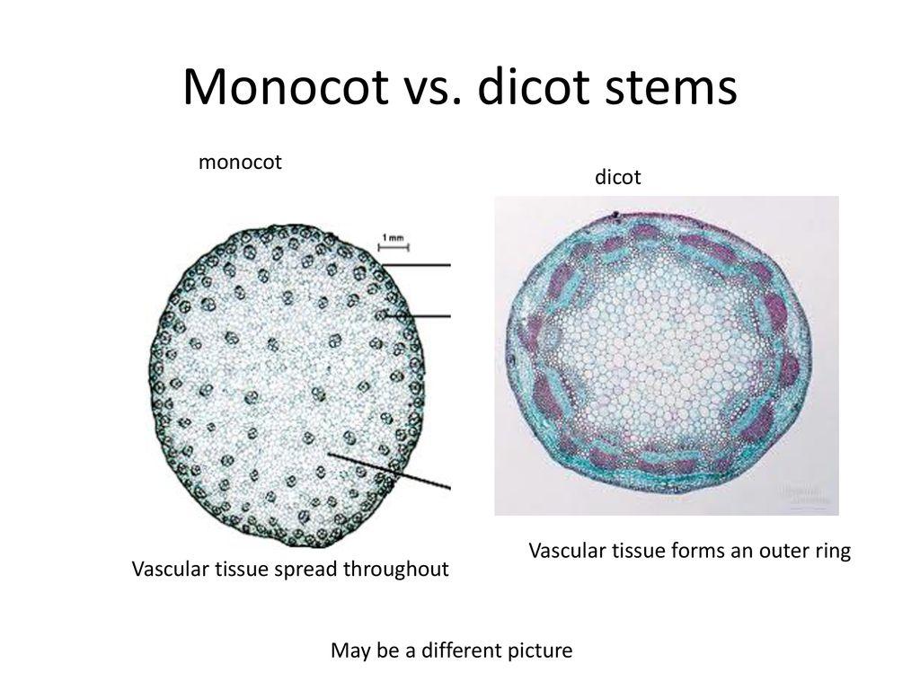 hight resolution of monocot vs dicot stems monocot dicot