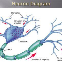 4 neuron diagram [ 1024 x 768 Pixel ]