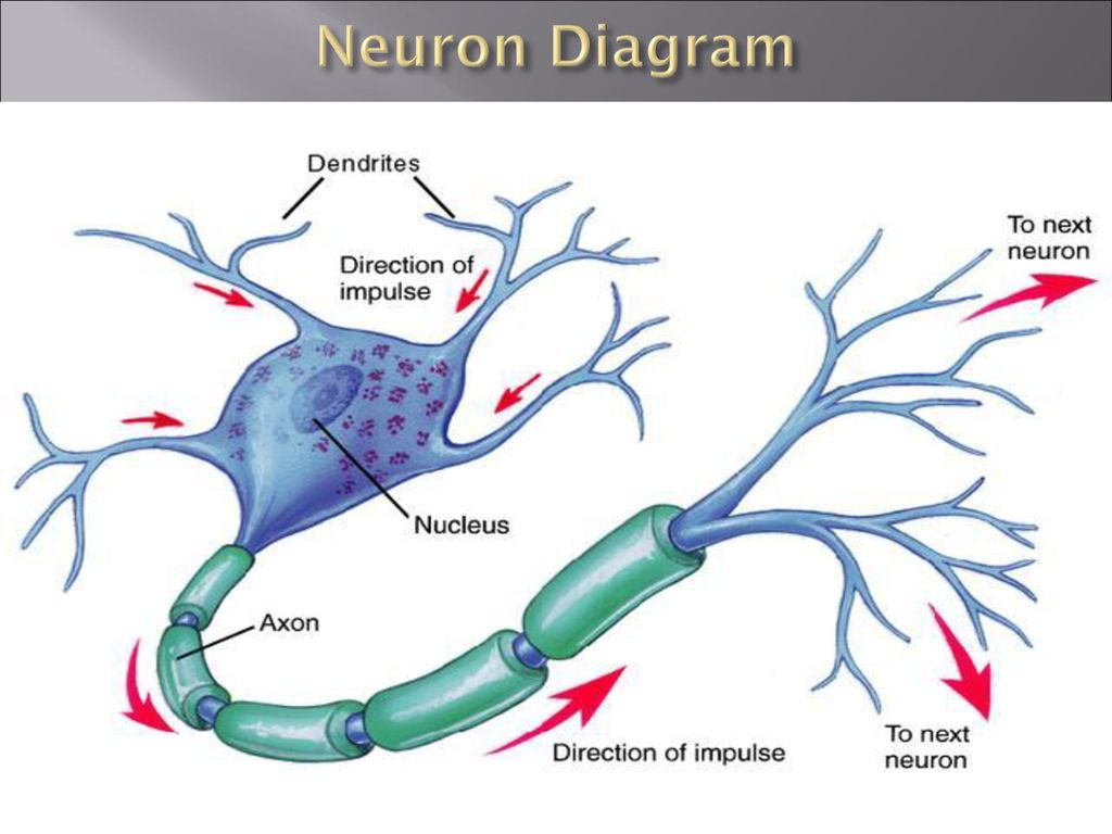 hight resolution of 4 neuron diagram