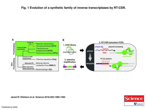small resolution of 1 evolution of a synthetic family of reverse transcriptases by rt csr