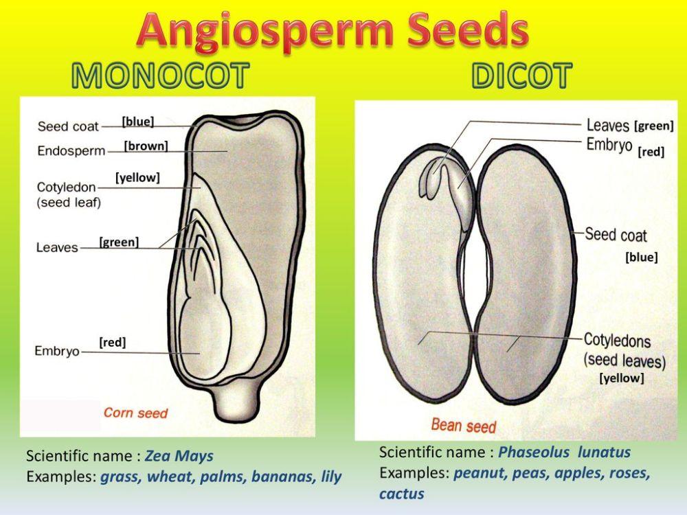 medium resolution of angiosperm seeds monocot dicot scientific name phaseolus lunatus