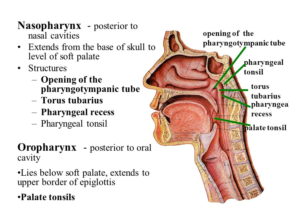 abdominal aorta diagram land rover discovery 2 trailer wiring alimentary system respiratory urinary genital - ppt video online download