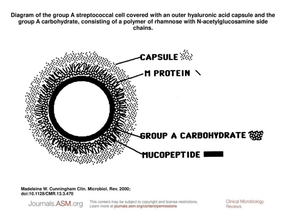 medium resolution of diagram of the group a streptococcal cell covered with an outer hyaluronic acid capsule and the
