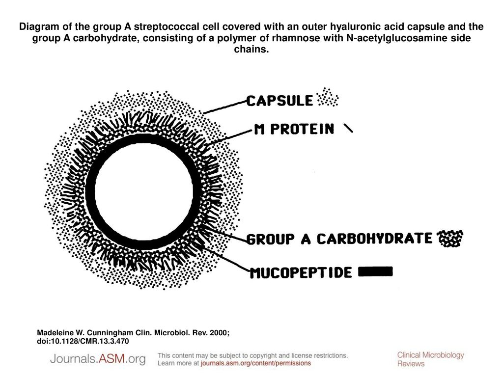 hight resolution of diagram of the group a streptococcal cell covered with an outer hyaluronic acid capsule and the