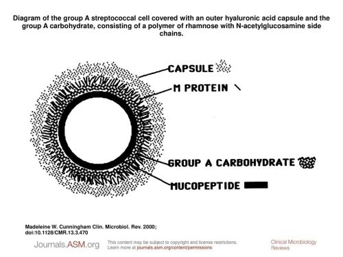 small resolution of diagram of the group a streptococcal cell covered with an outer hyaluronic acid capsule and the