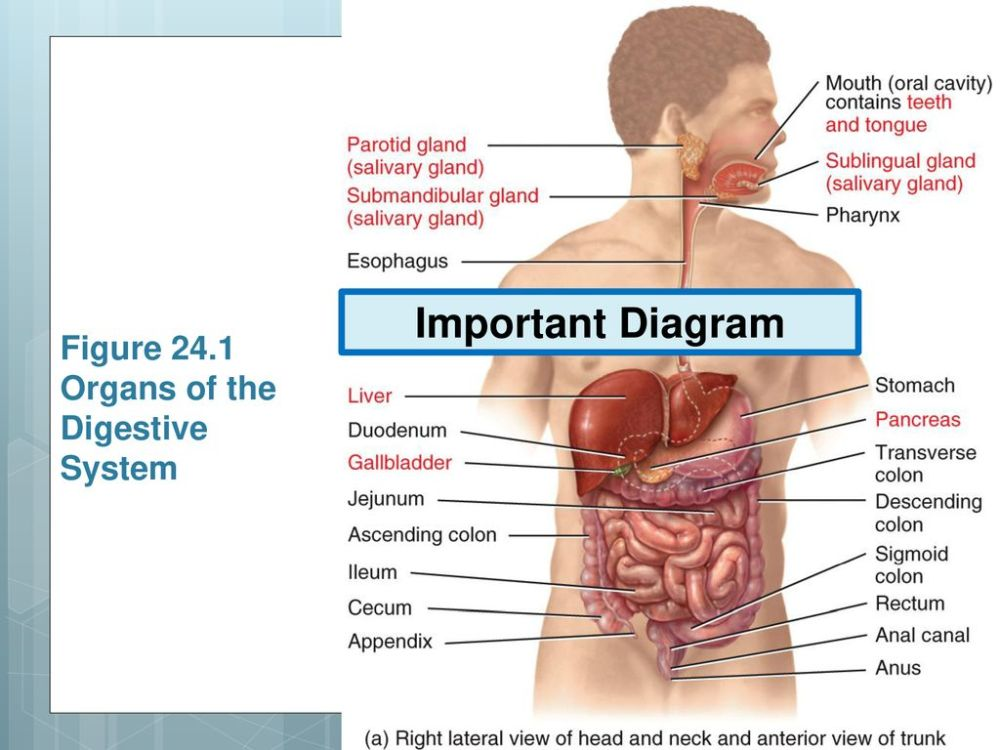 medium resolution of figure 24 1 organs of the digestive system