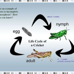 Cricket Life Cycle Diagram 2003 Ford F 150 Trailer Brake Wiring Comparing Cycles 4 10c Explore Illustrate And Compare 7 Is
