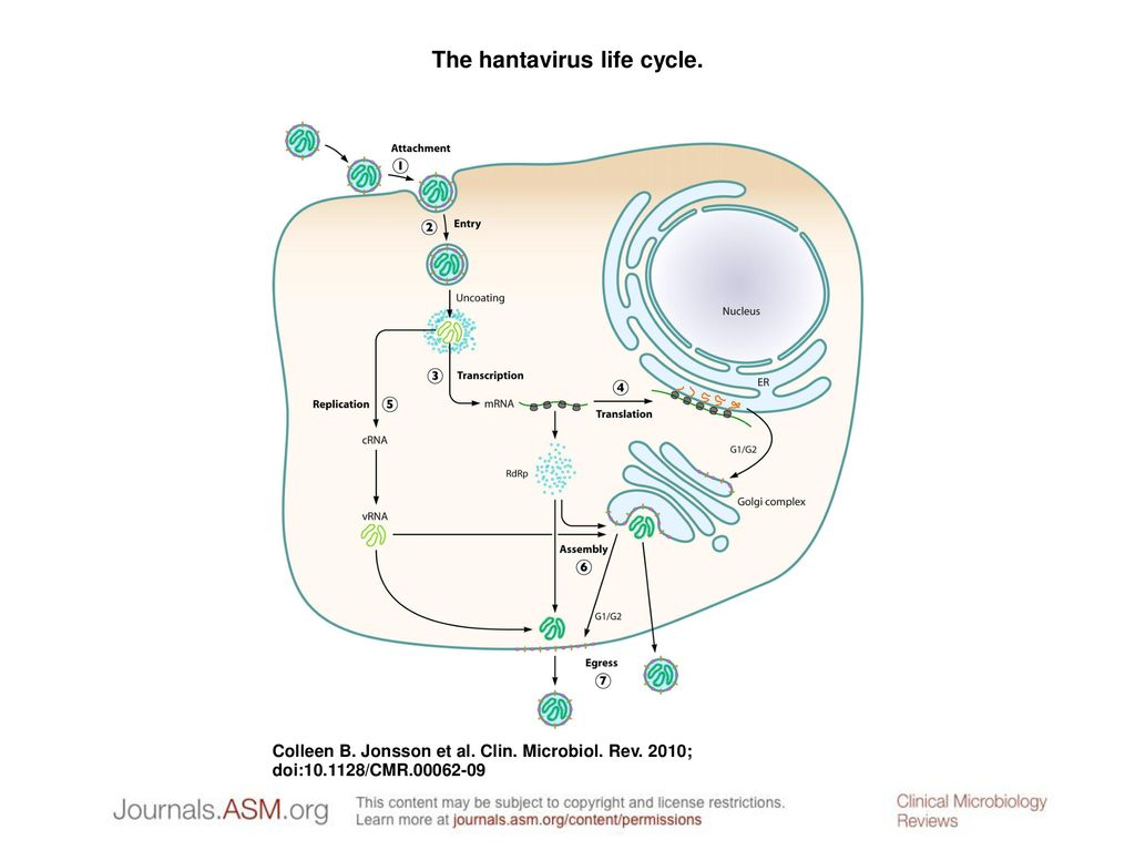 The hantavirus life cycle. - ppt download