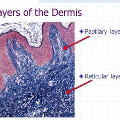 Dermis Layer Diagram Water Heater Thermostat Wiring The Integumentary System - Ppt Download