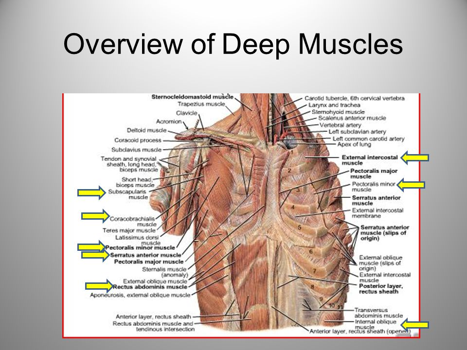 upper arm muscles diagram trailer wiring 6 pin round deep of the thorax anterior and abdomen ppt 2 overview