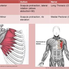 Muscle Diagram Dorsal Srs Wiring Anatomy. - Ppt Video Online Download