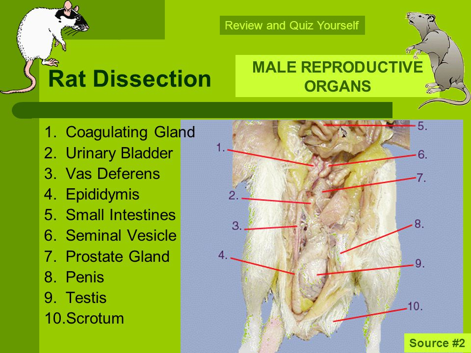 rat digestive system diagram quiz 8n 12v wiring dissection rats the following slides are intended to help you male reproductive organs