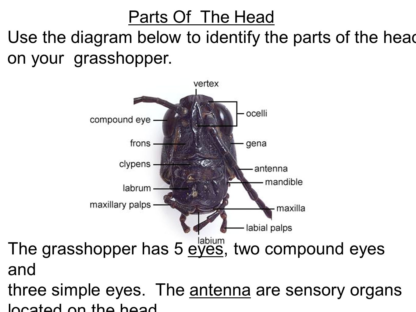 grasshopper insect diagram 24 volt alternator wiring dissection ppt video online download 4 parts