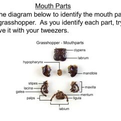 Grasshopper Insect Diagram Jayco Battery Wiring Dissection Ppt Video Online Download Mouth Parts Use The Below To Identify On Your