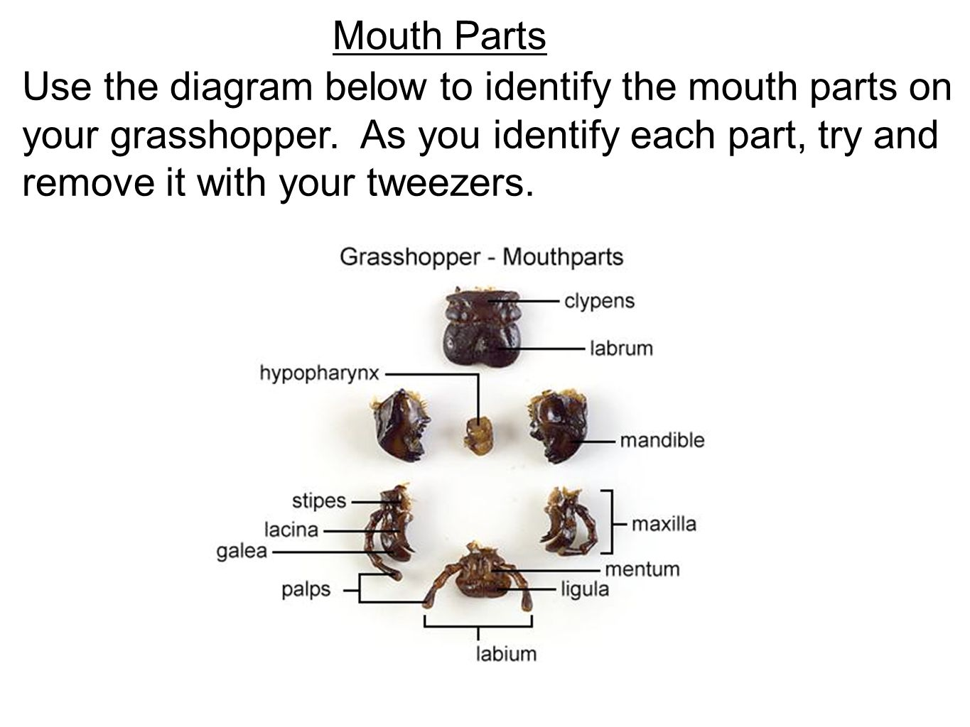 hight resolution of mouth parts use the diagram below to identify the mouth parts on your grasshopper