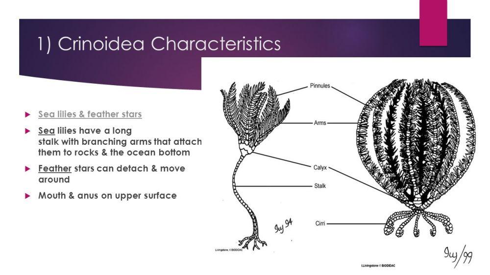 medium resolution of 11 1 crinoidea characteristics