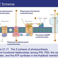 Photosynthesis Z Scheme Diagram 3157 Bulb Wiring Chapter 21 Ppt Video Online Download The Figure Of