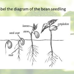 Bean Seedling Diagram 1999 Toyota 4runner Sunroof Wiring Forces In Living Things Lab Ppt Download 19 Label The Of