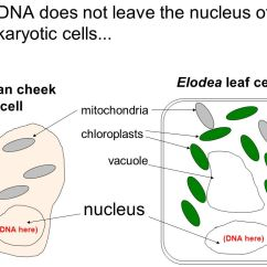 Elodea Leaf Cell Diagram 2003 Chevy 2500 Radio Wiring Our Questions About Dna Ppt Video Online Download Does Not Leave The Nucleus Of Eukaryotic Cells