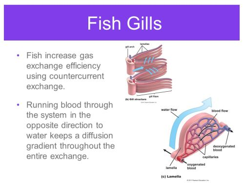 small resolution of fish gills fish increase gas exchange efficiency using countercurrent exchange