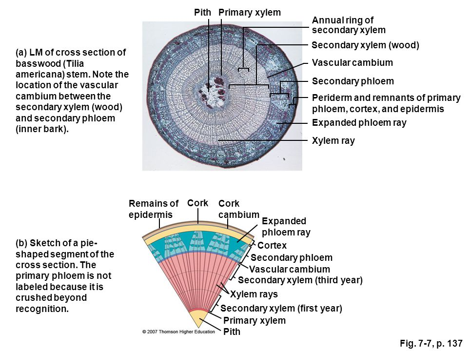 plant pith diagram cross section wiring for house db organs stems chapter ppt video online download secondary xylem wood