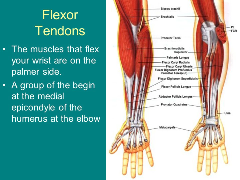 palmar hand muscle anatomy diagram aircraft carrier of the and wrist ppt video online download flexor tendons muscles that flex your are on palmer side