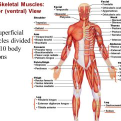 Rib Cage Bone Diagram Wire For Trailer Brakes The Muscular System Part A - Ppt Video Online Download