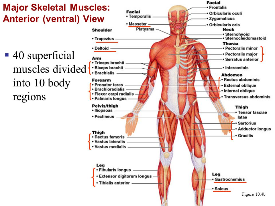 rib cage bone diagram australian trailer light wiring the muscular system part a - ppt video online download