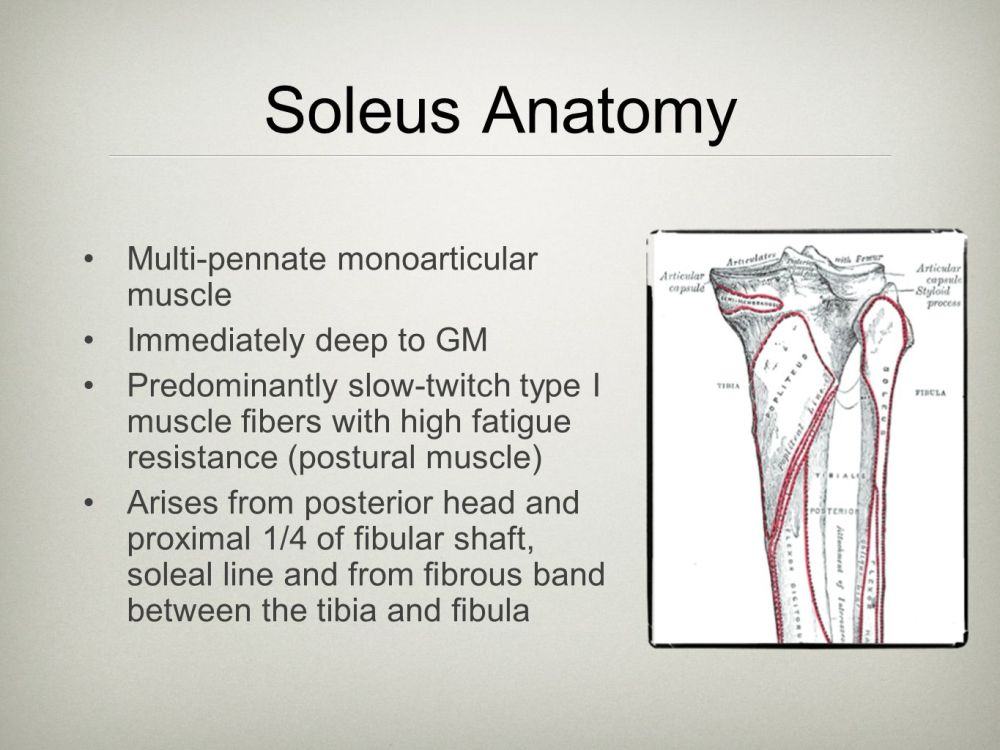 medium resolution of 6 soleus