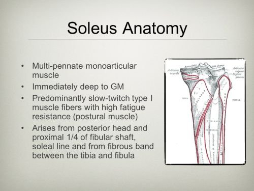 small resolution of 6 soleus