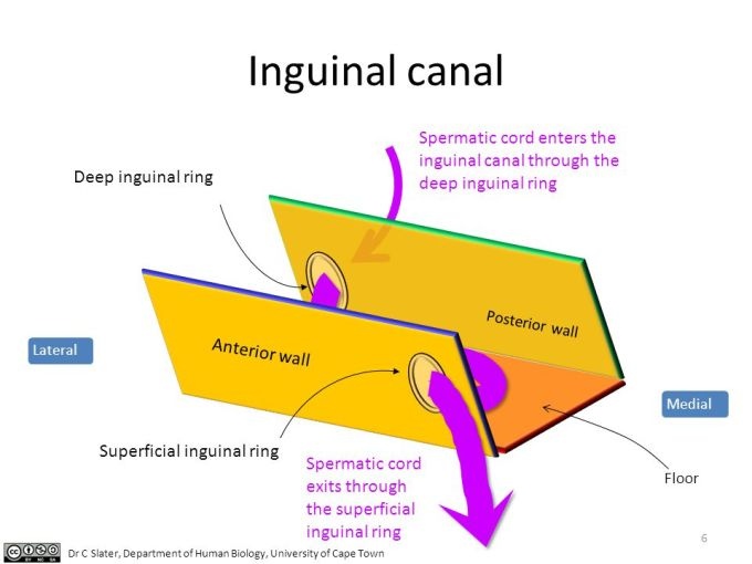 Floor Of Inguinal Canal Wikizie